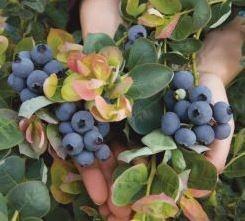Blueberries, Jersey