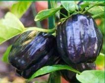 Pepper, Purple Bell