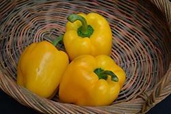 Pepper, Yellow Bell