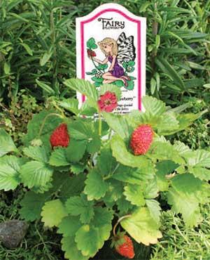 Emmy's Alpine Strawberry