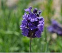 Lavender, Hidcoat