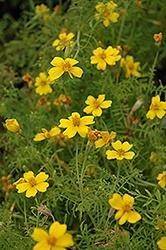 Marigold, Lemon Gold