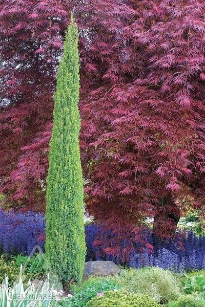 Juniperus Communis, Compressa