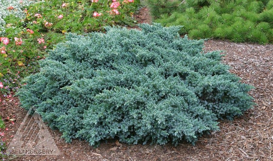 Juniperus Squamata, Blue Star