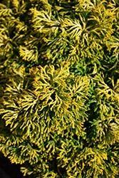 Chamaecyparis Obtusa, Butterball