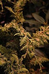 Chamaecyparis Obtusa, Fernspray Gold