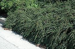Cotoneaster Apiculata, Tom Thumb