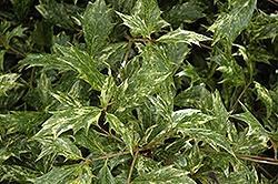 Osmanthus Heterophyllus, Goshiki