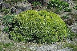 Picea Abies, Little Gem