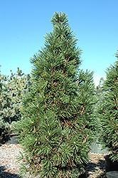 Pinus Mugo, Columnaris
