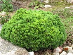 Pinus Mugo, Mops