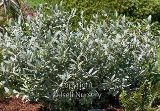Salix Candida, Silver Fox