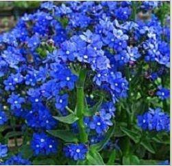Anchusa, Blue Angel