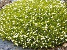 Sagina (Scotch Moss), Subulata Aurea