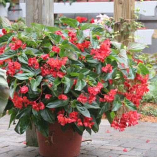 Begonia, Dragon Wings Red