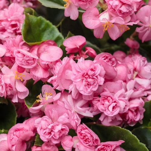 Begonia, Double Up Pink