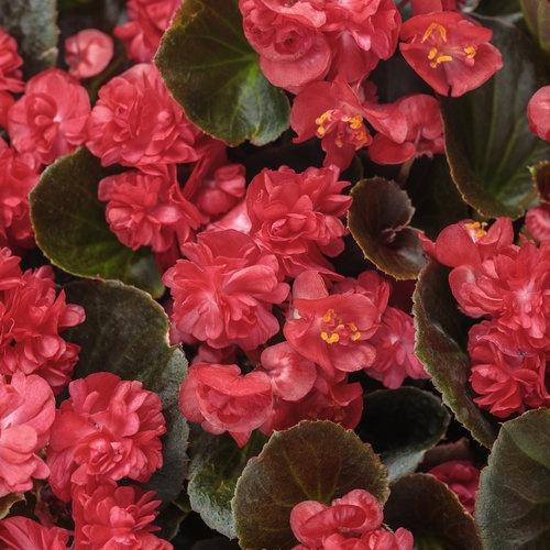 Begonia, Double Up Red