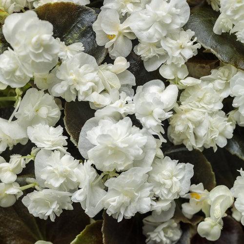 Begonia, Double Up White