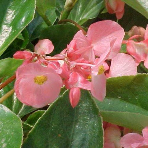 Begonia, Dragon Wings Pink