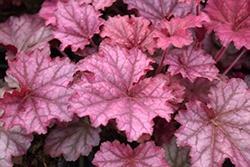 Heuchera (Coral Bells), Berry Smoothie