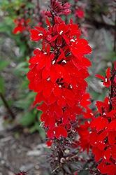 Lobelia (Cardinal Flower), Vulcan Red