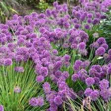 Allium, Lavender Bubbles