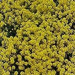 Alyssum, Gold Dust