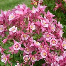 Aquilegia (Columbine), Kirigami Rose & Pink