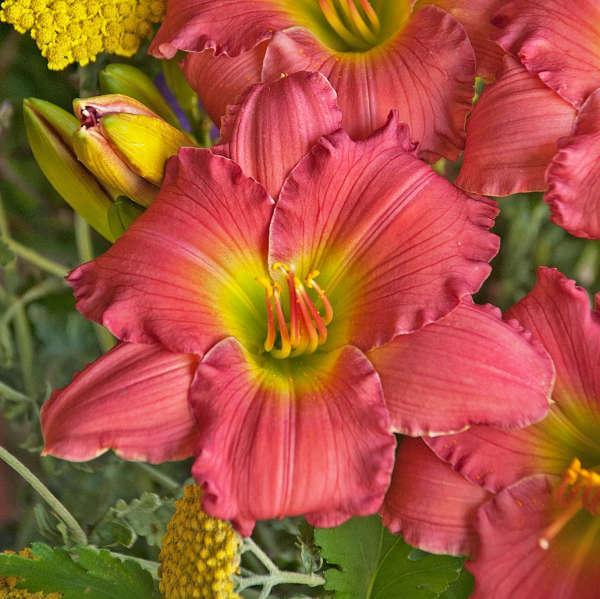 Hemerocallis (Daylily), Passionate Returns