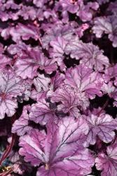 Heuchera (Coral Bells), Forever Purple