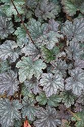 Heuchera (Coral Bells), Frosted Violet