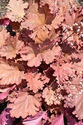 Heuchera (Coral Bells), Peachberry Ice