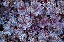 Heuchera (Coral Bells), Plum Pudding