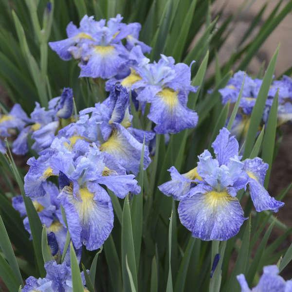 Iris, Cape Cod Boys