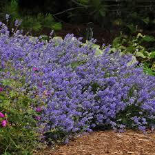 Lavendula (Lavender), Blue Cushion