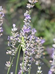 Lavendula (Lavender), Provence