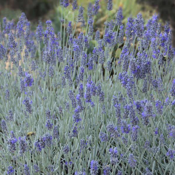 Lavendula (Lavender), Silver Mist