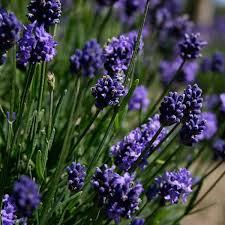 Lavendula (Lavender), Thumbelina Leigh