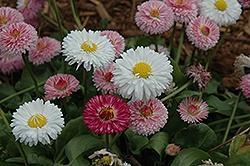 Leucanthemum (Shasta Daisy), Bells English Daisy