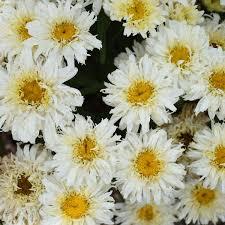 Leucanthemum (Shasta Daisy), Ice Cream Dream