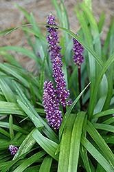 Liriope, Royal Purple