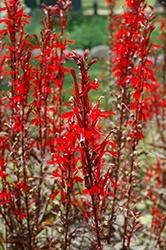 Lobelia (Cardinal Flower), Black Truffle