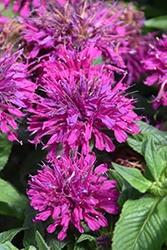 Monarda (Bee Balm), Grape Gumball