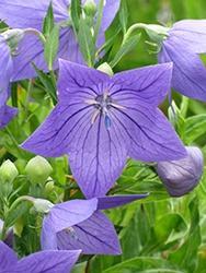 Platycodon (Balloon Flower), Sentimental Blue