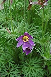 Pulsatilla (Pasque Flower), Vulgaris