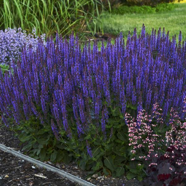 Salvia, Violet Riot