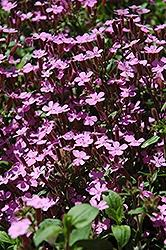 Saponaria (Soap Wort), Ocymoides