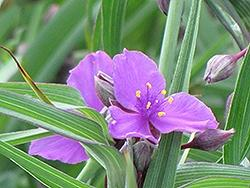 Tradescantia (Spiderwort), Concord Grape