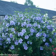 Hibiscus (Rose of Sharon), Blue Chiffon