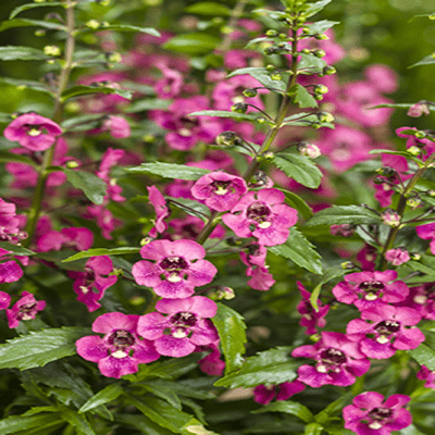 Angelonia Angleface Perfectly Pink